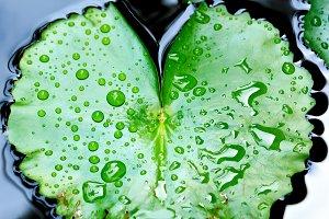 Drop of water on lotus leaf