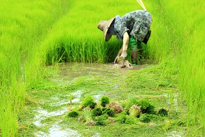 Faemer working in rice plant