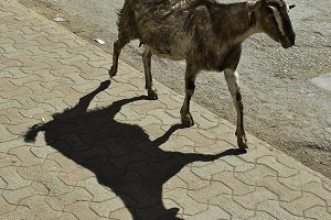 A shadow of a goat