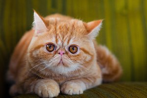 Tabby Red Exotic Cat #1