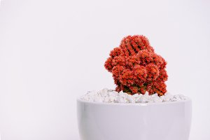 Red Cactus in White Pot