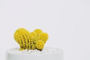 Yellow Cactus in White Pot