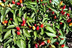 Hot peper plant