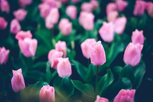 Pink tulips with rain drops