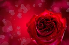 Red heart shaped rose