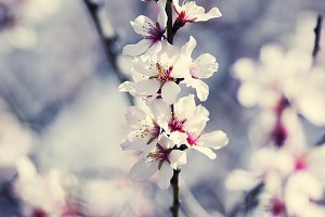 Almond flowers.