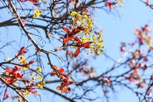 Flowering tree with crimson leaves
