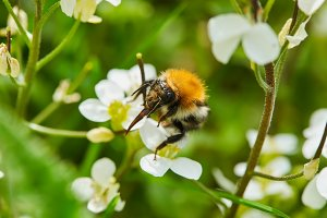 Bumblebee on white flower