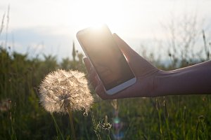 Hand With Smartphone and Dandelions