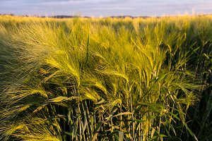 Green Barley in Afternoon Light