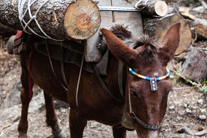 Mule carrying wood