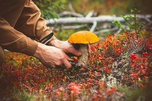 Man hands picking Mushroom in forest