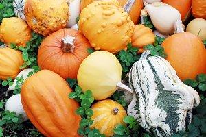 Various of organic pumpkins