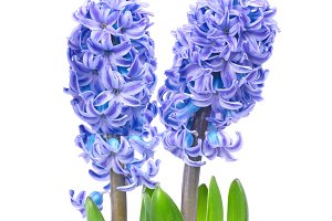 Two blue flowers hyacinthes