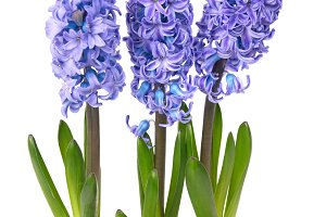 Blue flowers hyacinthes