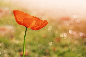 Poppy Flower in Morning Light Bokeh