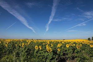 Bright sunflower field