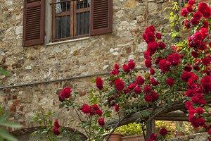 Beautiful red climbing rose