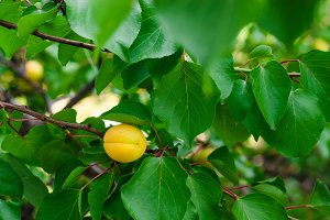 Branch with ripe apricots