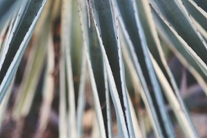 Yucca Leaves 1