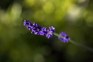 Lavender Flower in Evening Light