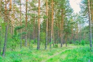 Summer pine forest