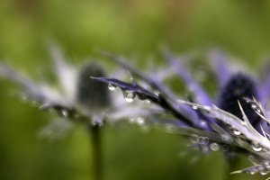 Raindrops and Sea Holly