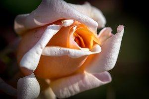 Pink rose half open