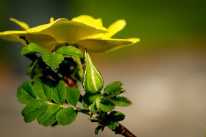 Yellow rose and closed bud