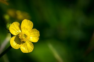 Common buttercup flower