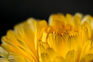 Macro of yellow flower petals #01