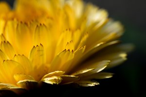 Macro of yellow flower petals #02