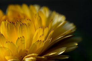 Macro of yellow flower petals #03