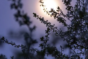 Plum Blossoms and Moonlight