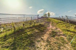 Nature way (vineyards)
