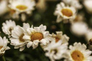 Blume #5