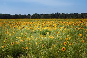 sunflowers at the field