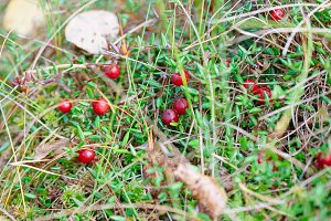 Cowberry in forest