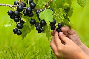 hands with berries of black currant