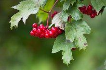 red berries of viburnum
