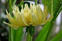 yellow dahlia in the garden