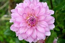 pink dahlia in the garden