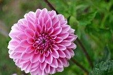 pink natural dahlia