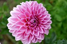 pink natural dahlia in the garden