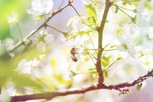 Bee eat pollen, flowers of pear tree
