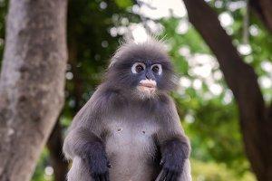 Portrait of Dusky leaf monkey