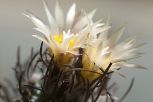 Turbinicarpus flowers