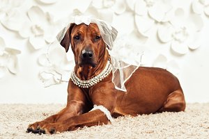 Rhodesian Ridgeback dog-bride in front of flower background
