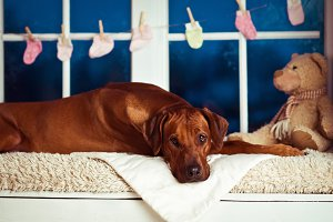 Rhodesian Ridgeback mother on a windowsill with children props