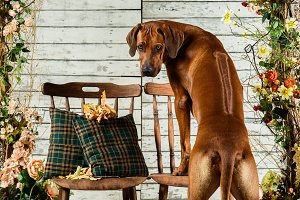 Rhodesian Ridgeback leaning on a chair backwards showing its rid